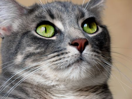 Royalty managed photography of a grey kitty with green eyes 스톡 콘텐츠