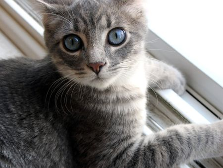 Royalty managed photography of a grey kitty with blue eyes 版權商用圖片