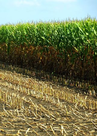 High resolution stock photo print of a field of corn  Фото со стока