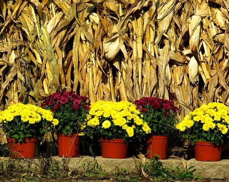 Stock photo image of bright yellow fall mums in pots with corn stack in the background photo