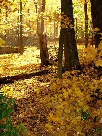 Stock photo of fall trees in the forest preserve