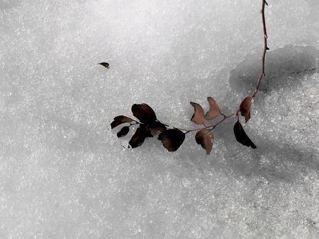 Royalty free photo. Fall leaves touching the snow