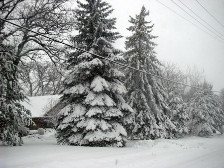 white winter: Royalty free photo of winter scenery, evergreen trees covered by snow