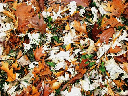 royalty free: Royalty free photo of fall leaves in the woods