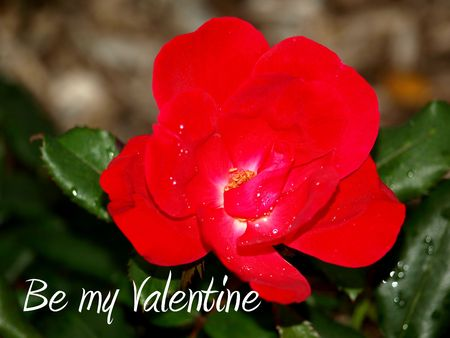 Close up picture of a wild rose with the text BE MY VALENTINE, perfect for Valentines Day