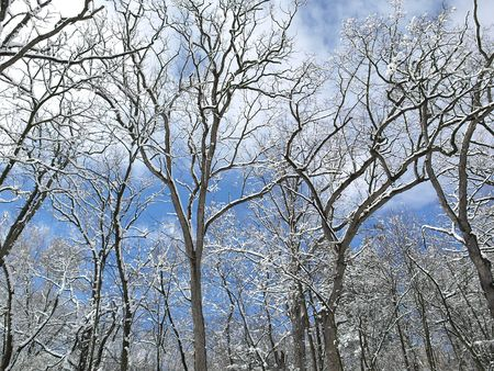 Royalty free photo of winter scenery, trees against a March blue sky Stock Photo - 5167278