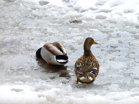 Image of a pair of ducks on a icy and snowy water, one fishing for food under the water, on a late March day in Chicago