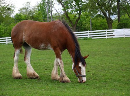 Stock photography, photo print of a brown stallion grazing in a stable yard