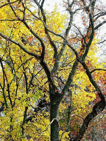 Canvas print of bare and fall color autumn tree branches