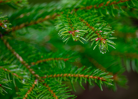 april showers: Pine tree with rain drop hanging from it. Taken after April Showers Stock Photo