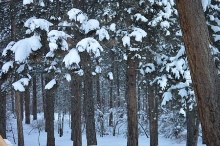 is covered: Snow covered trees Stock Photo