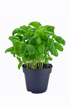 A potted basil herb plant on a white background  Stock Photo