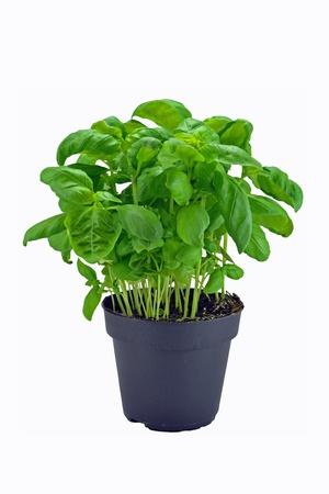 basilico: Una planta de hierbas en macetas de albahaca sobre un fondo blanco  Foto de archivo