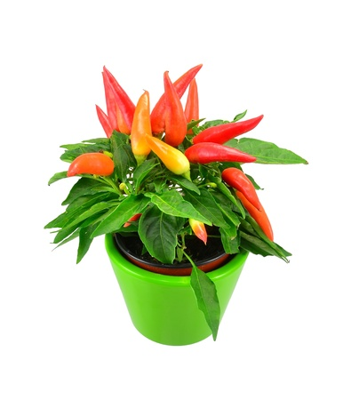 red chilly: A mixed chili plant in a green pot on white background