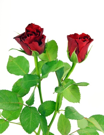 Red roses on a white background Stock Photo - 11481296