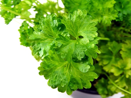 close up food: A close up of parsley in a pot