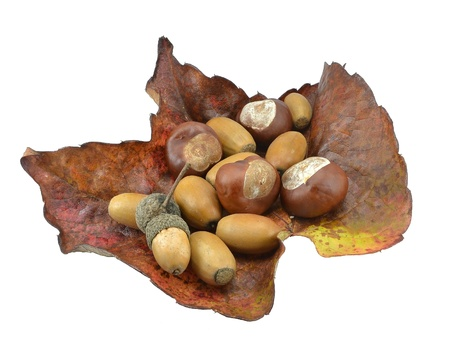 Selection of acorns and chestnuts on a large leaf Stock Photo - 13187883