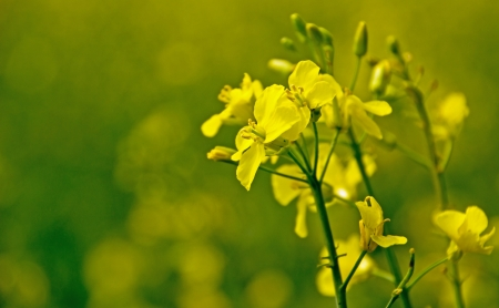 napus: Close up of rapeseed flower with green background