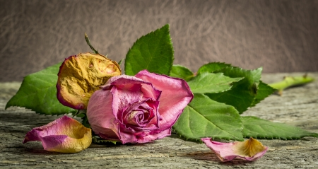 withering: Withering pink rose lying on a rustic wooden table