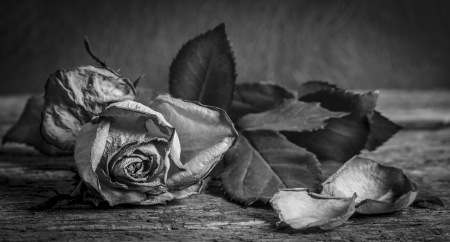 A black and white vintage image of a rose on wooden table photo