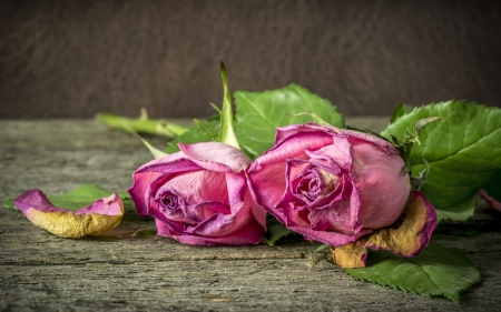 withering: Withering pink roses lying on a rustic wooden table Stock Photo