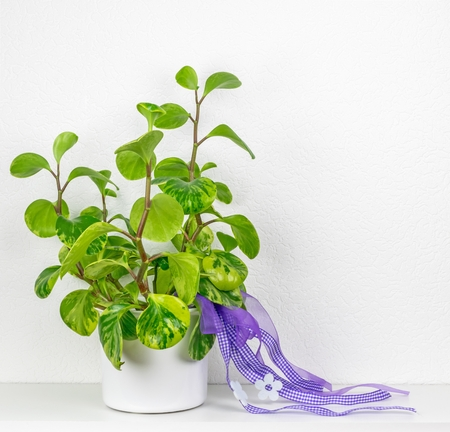 rubber plant: A potted rubber plant with decorative bows with copy space background
