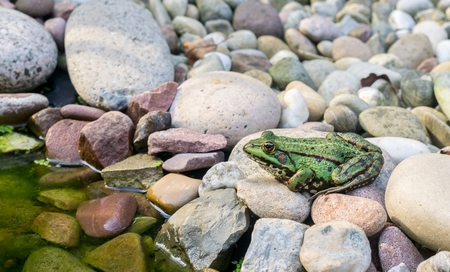 pebbles: A green frog sitting on stones next to a pond