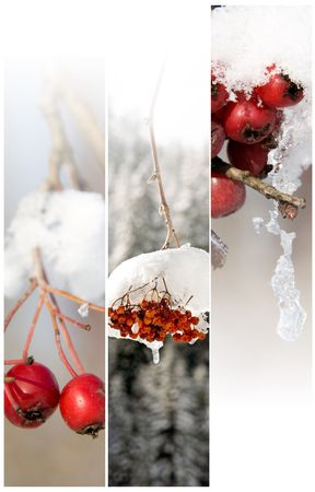 banner of winter berry photo