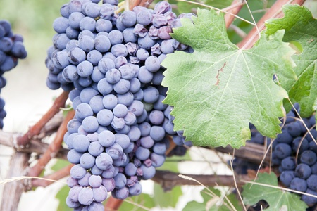 black grapes to make wine barolo photo