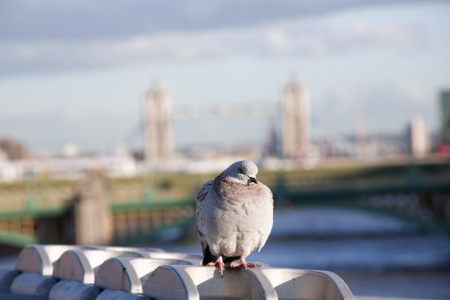 pigeon on a bridge in london photo