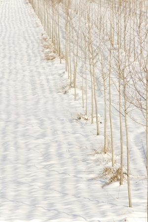 rows of trees in the snow photo