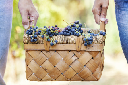 carried: grapes in a basket carried by two hands Stock Photo