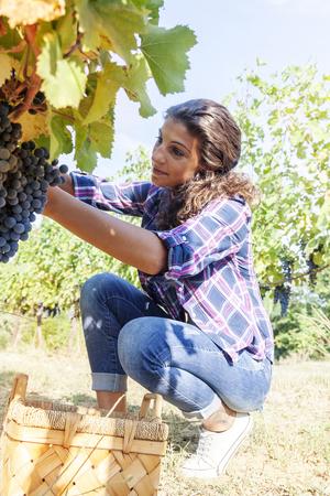 picks: young woman picks grapes in a vineyard Stock Photo