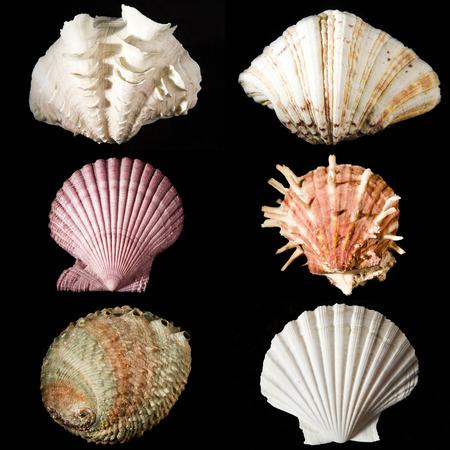 murex shell: sea shells studio shot collection on black background