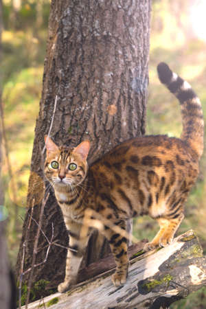 A domestic Bengal cat looks at the camera in amazement.