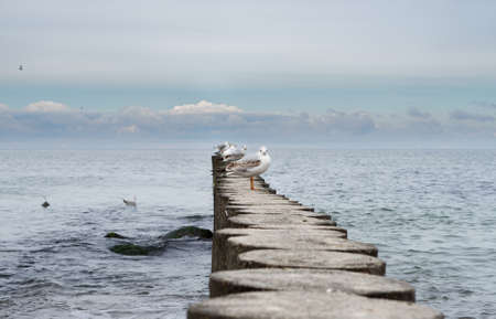 Seagulls are resting on a wooden breakwater. Baltic Sea.