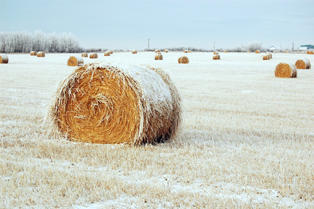 frozen bale of hay on a snow swept field outside alberta, canada. Stock Photo - 1463525