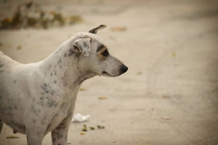 Sad looking stray dog, white color with grey dots, head turns right looking at something on the right 스톡 콘텐츠