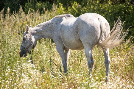 Horse gray color graze in the Meadow.