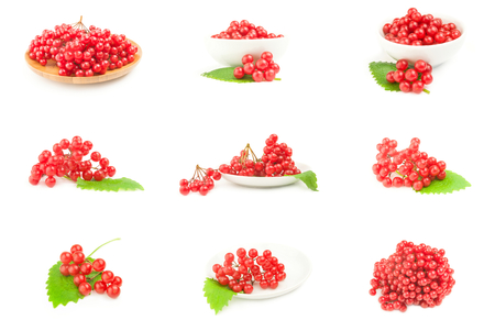 bacca: Set of branches of viburnum on a background Stock Photo