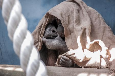 A hiding chimpanzee in the zoo Stock Photo