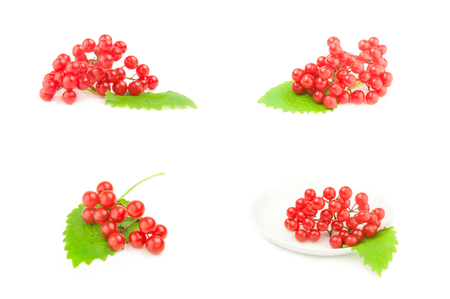 Group of bunches of red viburnum on a background Stock Photo