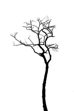 Dead tree silhouette isolated on white background photo
