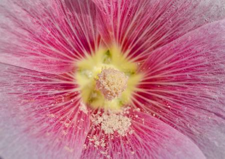 carpel: close up macro carpel  pollen of hollyhock flower