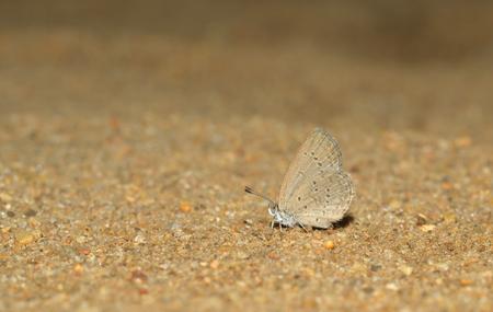 beach butterfly: Grey butterfly on the beach