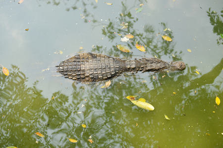 animal scale: Crocodile in the water Stock Photo