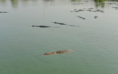 alligator eyes: The crocodile or alligator while swimming in river