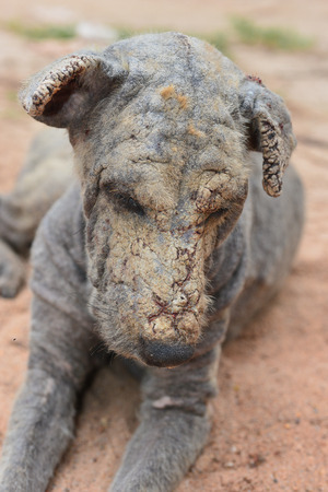 lepra: lepra de la piel del perro
