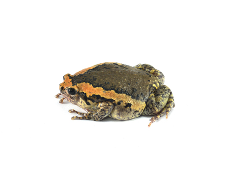 bullfrog: bullfrog or rana catesbiana isolated on white background Stock Photo