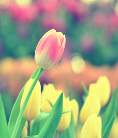 cross process: colorful pink tulips in the garden - cross process vintage Stock Photo